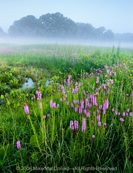 In July, blazing star blooms at the seep of the fen at Bluff Spring Fen in Elgin, Illinois.