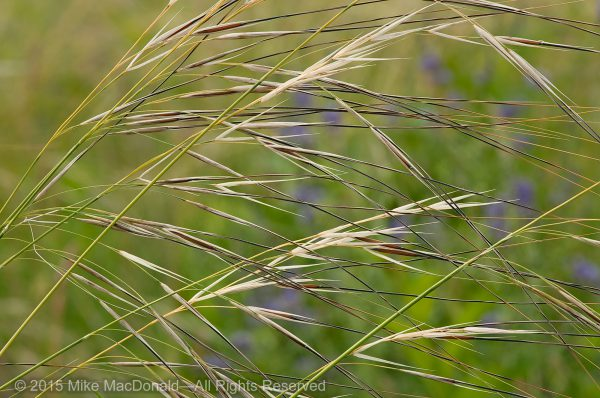 Porcupine grass (Hesperostipa spartea, previously known as Stipa spartea, for anyone who cares) is a particularly fun and interesting plant because of its fascinating seed.