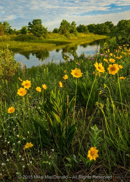 A national-park quality blooming event happens every single day from mid-April through mid-September in the Chicago area. On this June morning, a celebration of life is unfolding. Endless blooms of sand coreopsis spread with golden joy along the banks of the Dead River at Illinois Beach Nature Preserve in Zion, Illinois.