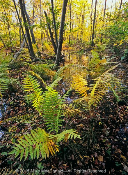Acrobatic cinnamon ferns take hold in the soggy ground of Cowles Bog, which is not a bog at all but, rather, a wetland known as a fen.