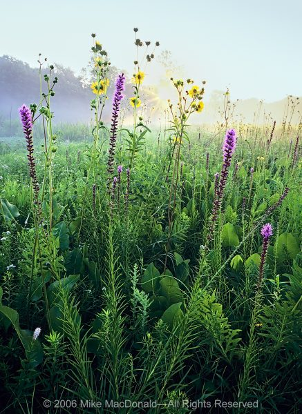 As summer progresses, most prairie plants grow ever taller in a battle for the sun. Like elegant dancers, they always want their moment in the spotlight. Here, in the morning stillness of Middlefork Savanna, blazing star, compass plant, and prairie dock stand adorned and erect.