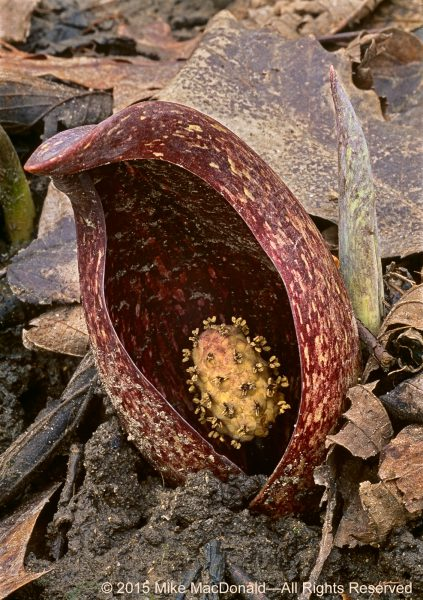 The speckled maroon spathe of skunk cabbage blends with leaf litter on the woodland floor, making it difficult to find when it first emerges. However, the plant becomes more conspicuous as it grows larger and produces its curious, oval-shaped yellow flower head, known as a spadix. The tiny delicate protrusions you see on the spadix are the flowers. The spadix emits a foul odor that, to a human, is reminiscent of skunk. However, to flesh flies, carrion flies, and several kinds of gnats, the spadix smells and looks more like a yummy dead animal, a trick the plant uses to lure them in for pollination. The spadix is also where the process of thermogenesis takes place. It warms the confines of the spathe, providing a cozy haven for pollinating insects while transmitting the smell of carrion far and wide.