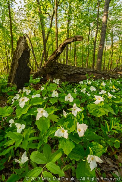 Large-flowered trillium in the springtime woodland at Fermilab Natural Areas in Batavia, Illinois.*