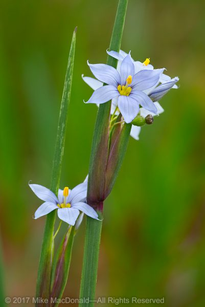 Common blue-eyed grass