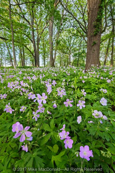 May brings glorious displays of wild geranium to Oldfield Oaks in Darien, Illinois, part of Forest Preserve District of DuPage County.*