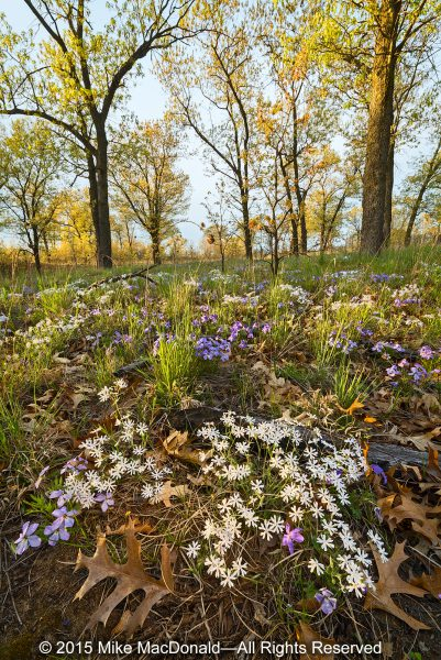 In May, Pembroke Savanna in Kankakee County is home to a sublime floral display of white sand phlox and rare bird-foot violet.