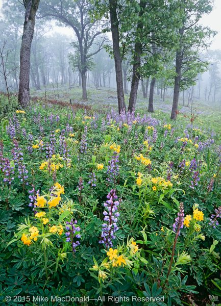 At this portion of Indiana Dunes National Lakeshore in Porter County, Indiana, wild lupine and hoary puccoon stage a gorgeous duo on the May dunes of this black oak savanna.