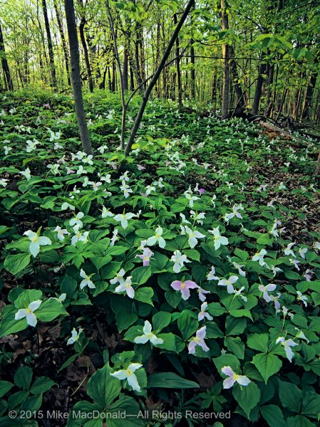 Great white trillium bloom in profusion at Harms Woods in Cook County, Illinois.*