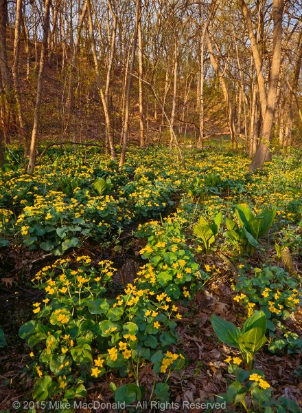 Marsh marigolds and skunk cabbage at McClaughry Springs Woods in Palos Park, Illinois.*