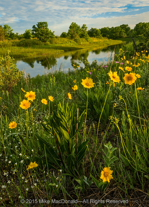 In a celebration of life, blooms of sand coreopsis spread with golden joy along the banks of the Dead River at Illinois Beach Nature Preserve in Zion, Illinois.*