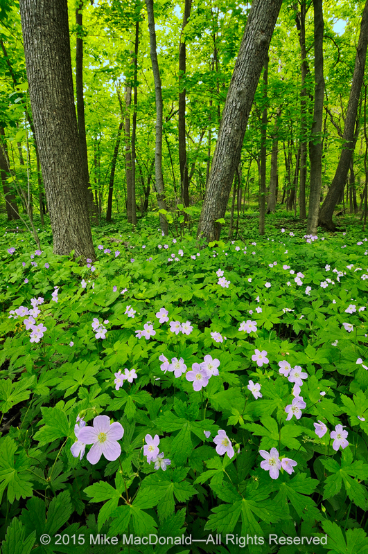 You can find wild geranium at all featured woodlands. Here, at Black Partridge Woods, the pink blooms float above its star-shaped foliage.*