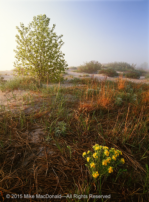 At Illinois Beach State Park, hoary puccoon blooms in here in the dunes and also throughout the sandy preserve.*