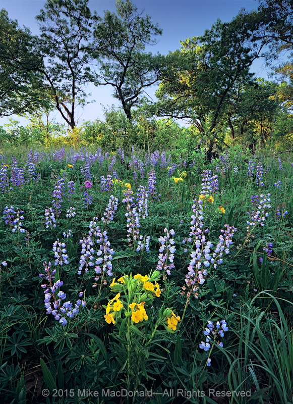 Biodiversity is about the many, not the few. Here, it's springtime in the savanna, where blue lupines share precious space with hoary puccoon. But, as the season advances, both will fade, making room for an array of other species, in a cycle where each has its time in the sun and then returns to the soil.*