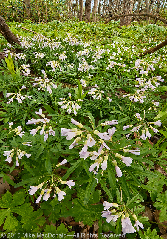 In April, cut-leaved toothwort blooms in profusion amongst a backdrop of mayapples at O'Hara Woods in Romeoville, Illinois.*