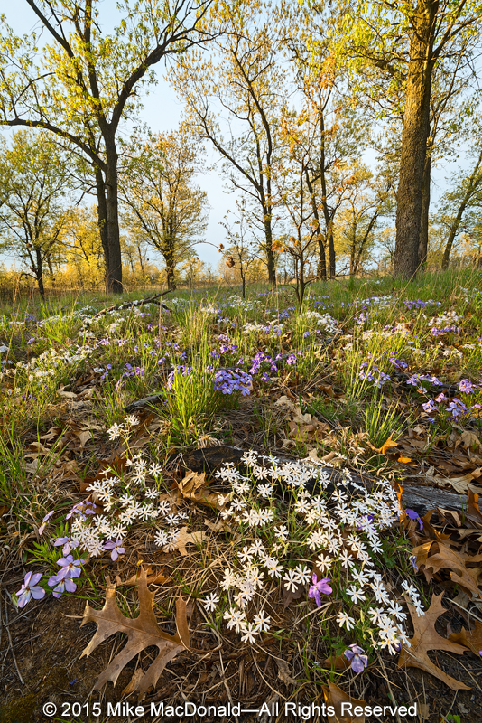 In May, Pembroke Savanna is home to blooms of white sand phlox and rare bird-foot violet.""