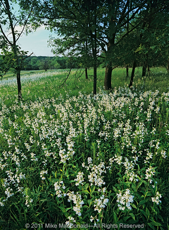 The spring prairie at Spears Woods in Willow Springs provides a show of foxglove beardtongue.*