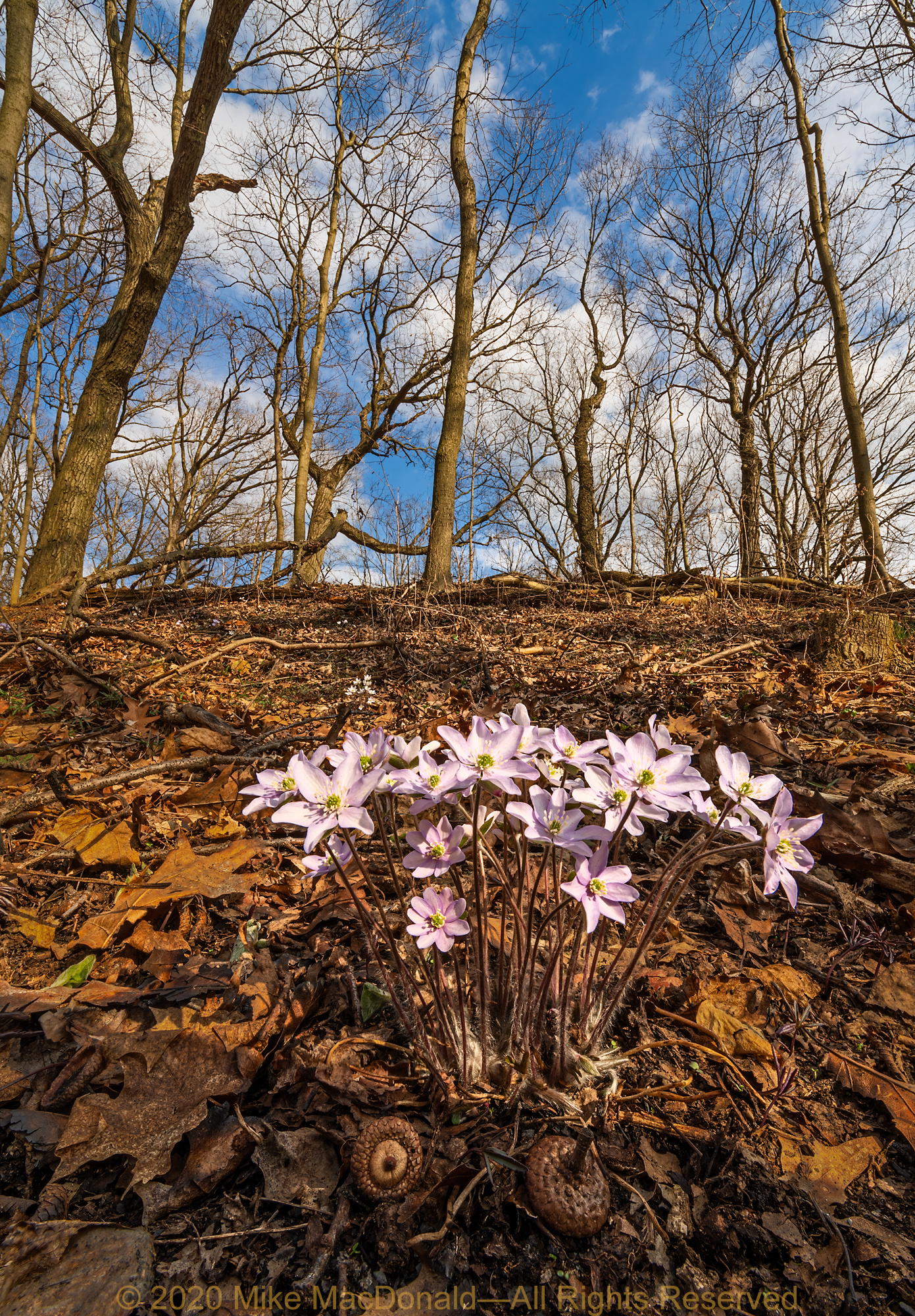 Sharp-lobed hepatica blooms on the bluff at Black Partridge Woods in Lemont, Illinois.